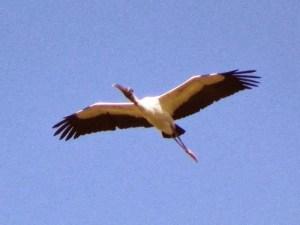 Wood ibis, Dennis Hawkins-Wikipedia