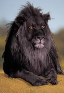 photoshopped_black_lion