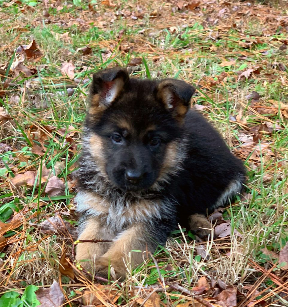 Female German Week Old 10 Shepherd