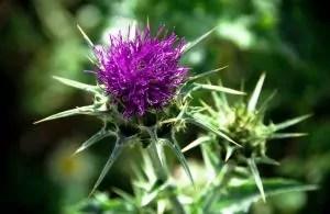 Distel beschleunigt das Haarwachstum als Natürliches Heilmittel.