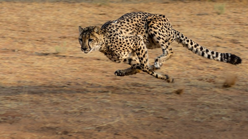 Cheetahs of Central Namibia