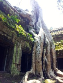 Nature wins, giant trees at Ta Prohm