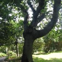 Choses vues - Le chêne