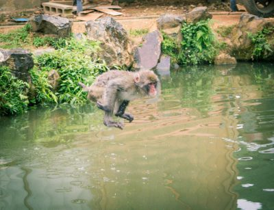 snow monkey jumping in the water