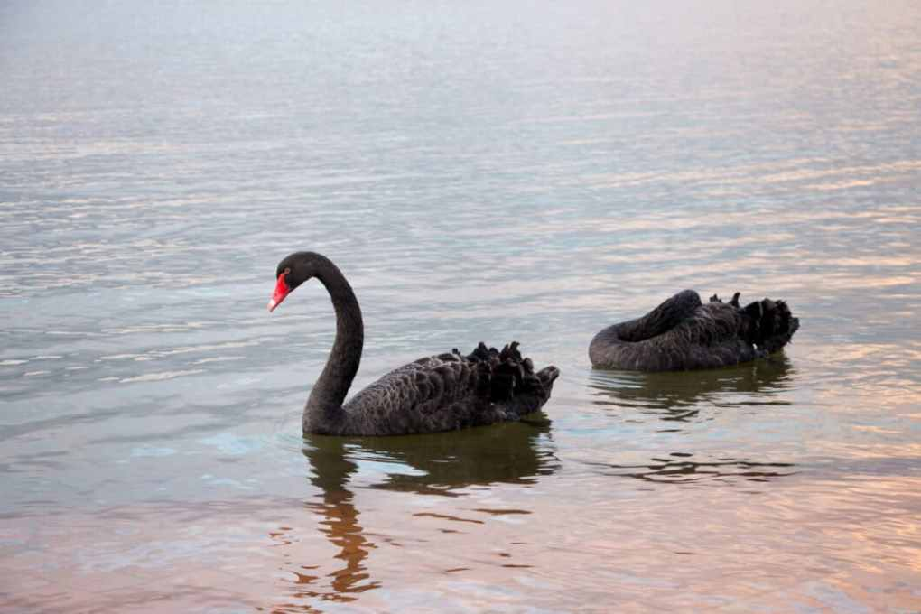 black swans