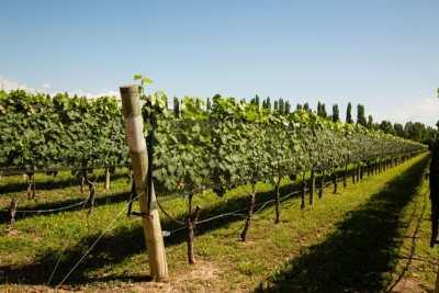 Kaiken vineyard
