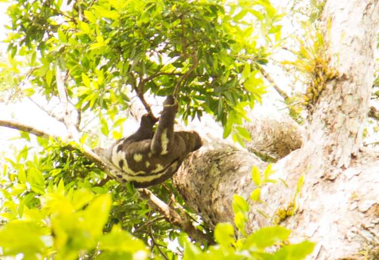 sloth amazon rainforest