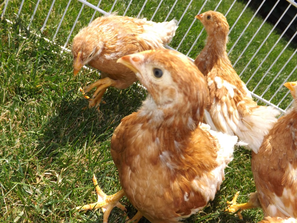 The Scoop on the Coop: A Beginner's Guide to Backyard Chickens