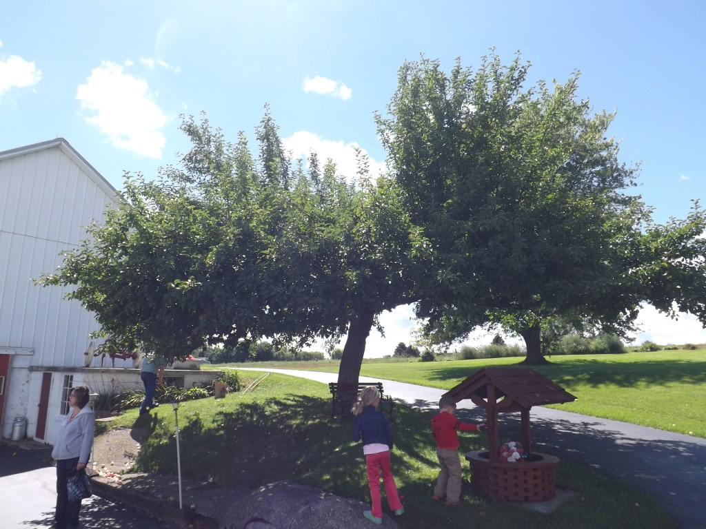 Orchard Apple Tree