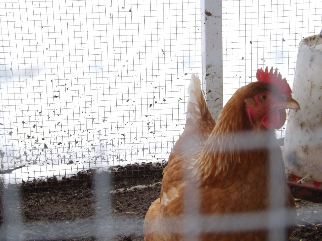 Braving the Winter with Chickens