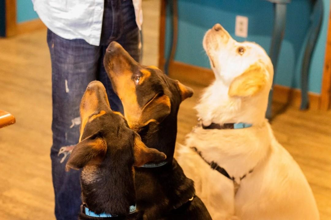 Photo of 3 dogs, Paxton, Paladin, and Jäger