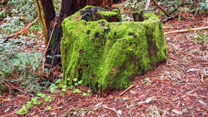Ancient Redwood Stump Covered in Moss