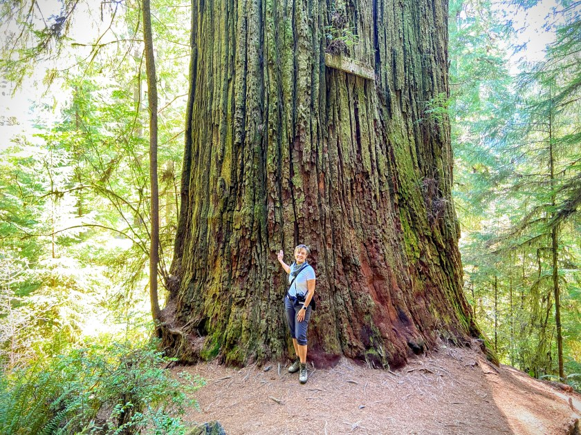 Woman standing next to a coast redwood tree. It is about 12 feet wide.