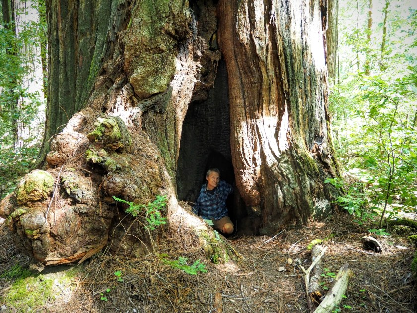 A man inside an opening at the massive base of a coast redwood tree.