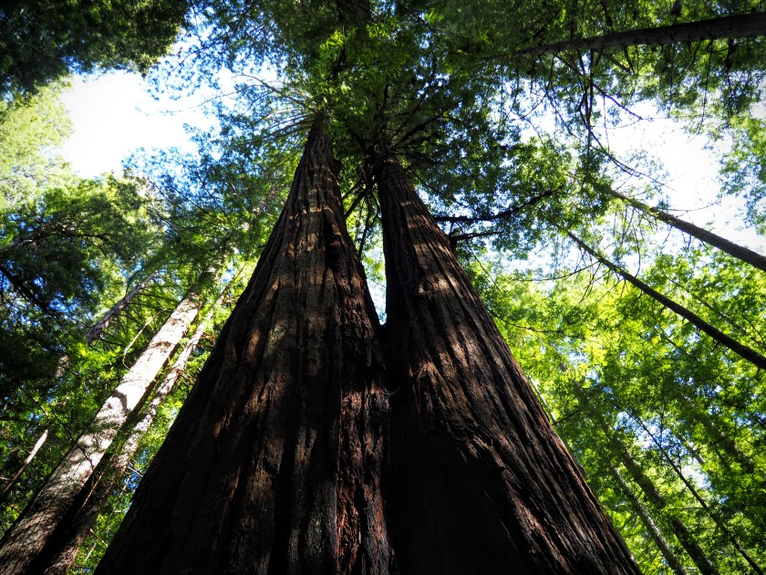 Many redwoods form twin or triplet trunks. This pair towers above us.
