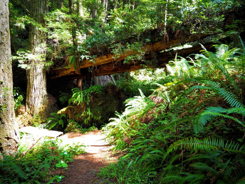 Fallen redwoods become beds for hanging gardens in the forest.