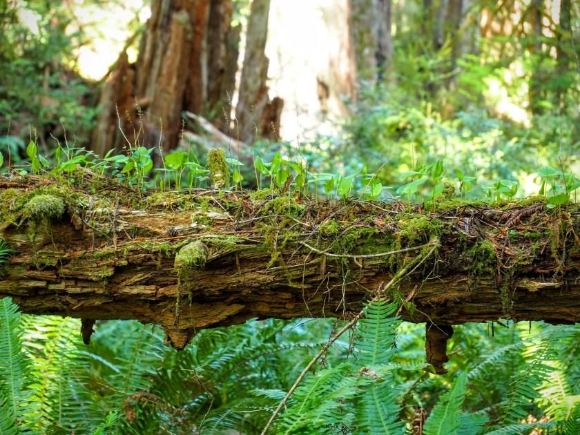 New plants growing on a fallen log