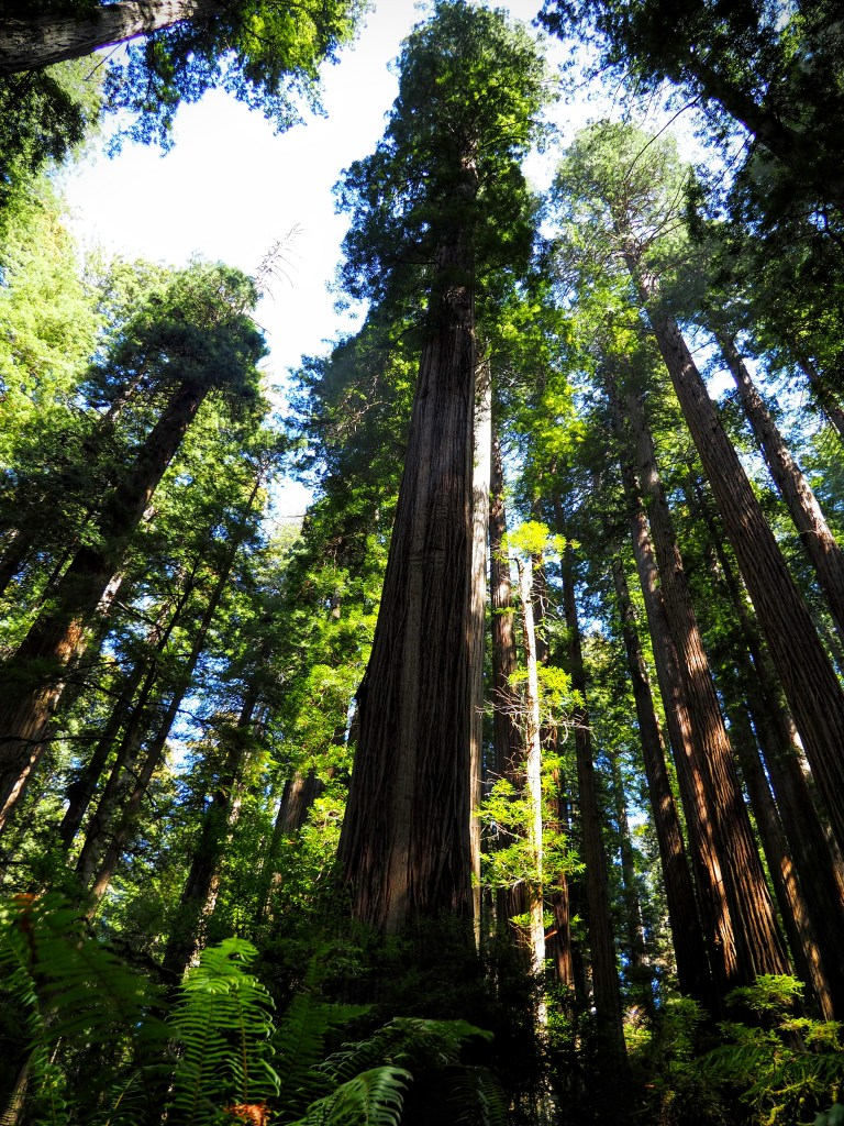 Towering coast redwood