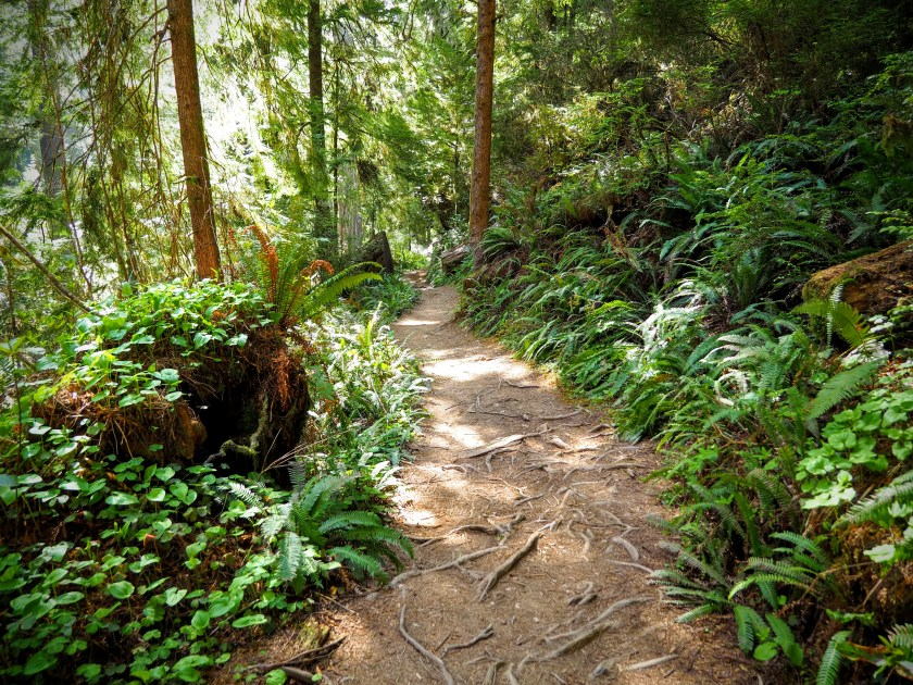 A path through the redwood forest