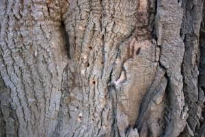 ash tree 3 silber