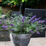 Buddleja Free PetiteR - Blue Heaven