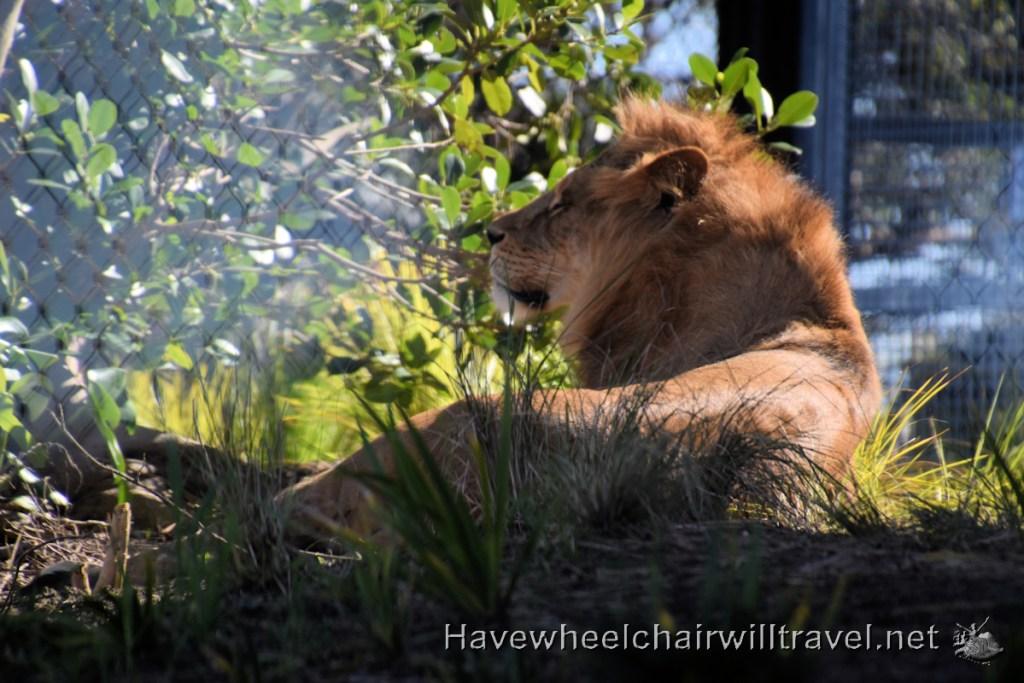 African Savannah Taronga Zoo Sydney - Have Wheelchair Will Travel