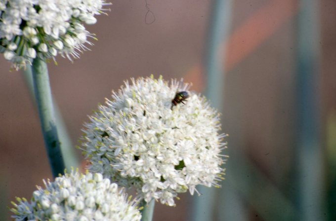 Fly on onion flower
