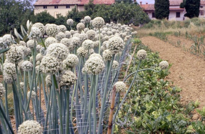 Onion OP seed prod Slovenia 1997