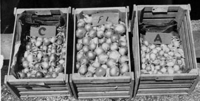 hybrid_onion
