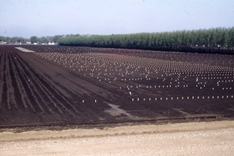 onion bulb field at planting 1949