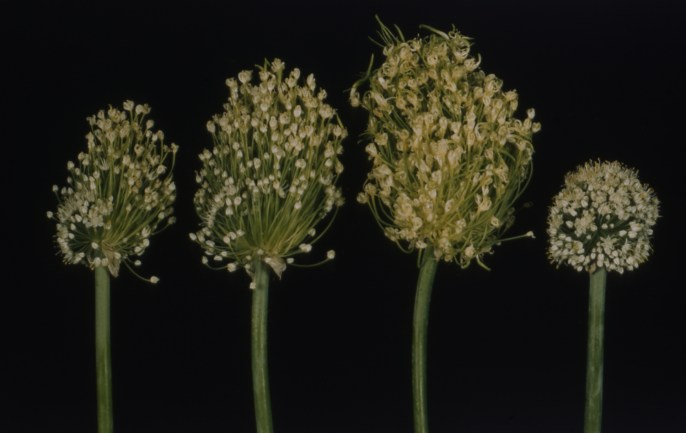 Aster yellows in onion umbels (2)