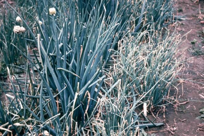 Botrytis squamosa 67 (2)