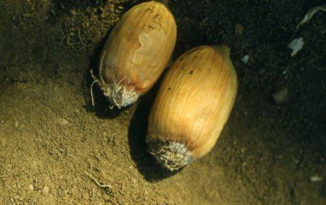 Fusarium on onion bulbs Oregon 1961