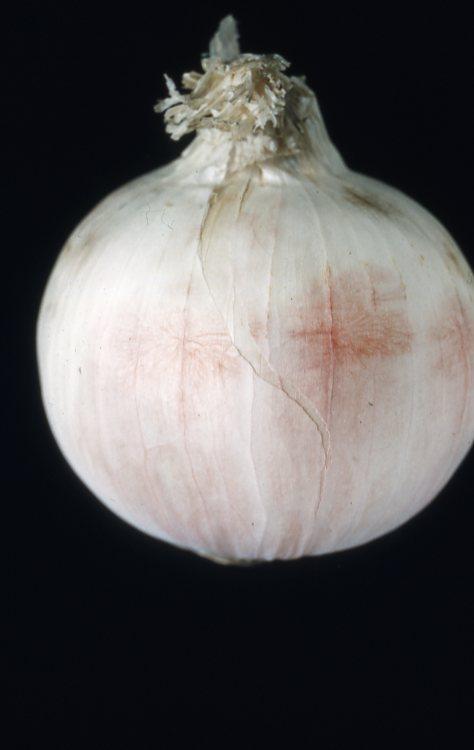 Fusarium on white onion 1957