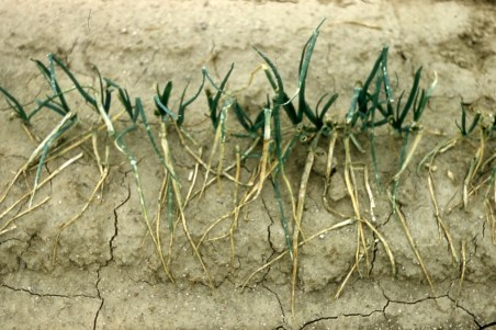 Hail damage on onion seedlings Greeley 1961