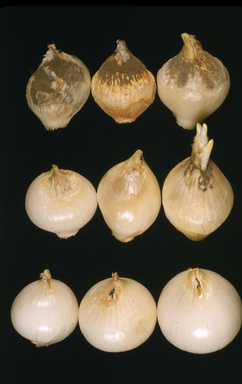 Neck rot of onion