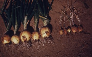 Pink root R and S Ontario Ore Sept 64
