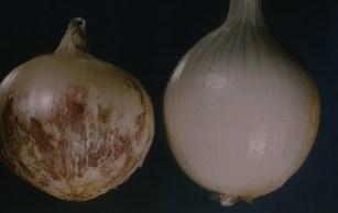 Pink root on bulb Oregon 1961