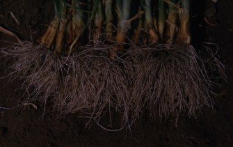 Pink root resistance Crystal City Tex TR265