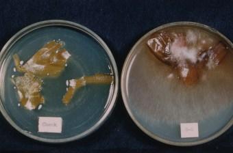 Pyrenocheata from white bulbs Ontario Dec 61