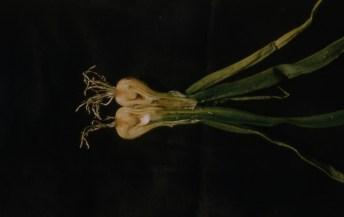 onion maggot damage Parma July 57