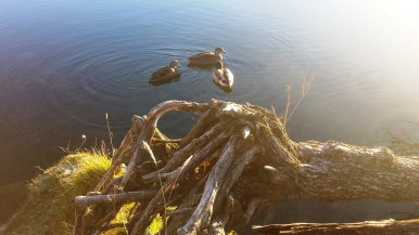 lake-alexandrina-ducks