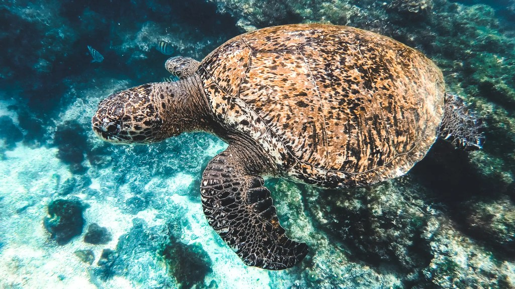 Underwater photography of a sea turtle in the galapagos islands