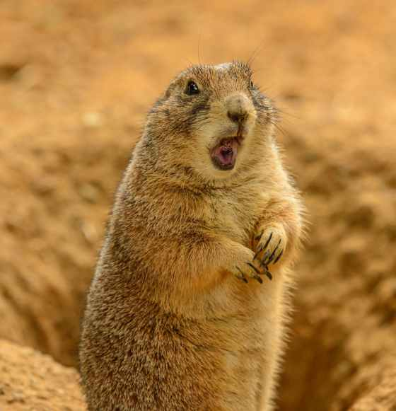 adorable prairie dog near hole on sunny day