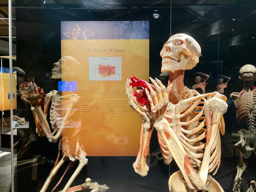 Body Worlds at the Houston Museum of Natural Sciences