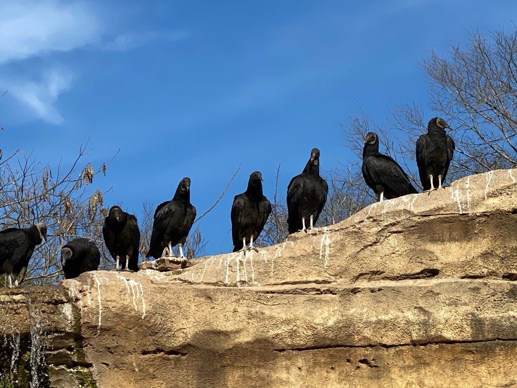 American Black Vultures at the Cameron Park Zoo.  The birds are not display, but nest voluntarily at the zoo.
