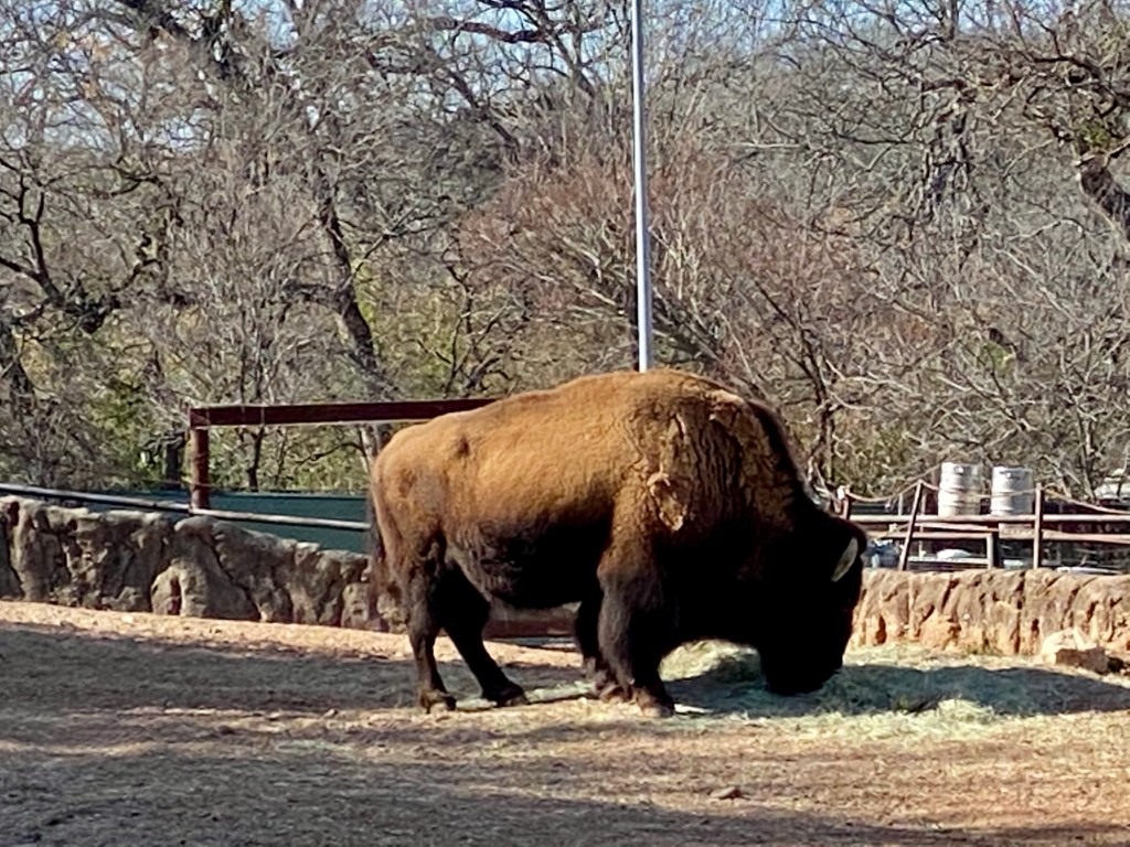 American Bison at the Cameron Park Zoo in Waco Texas