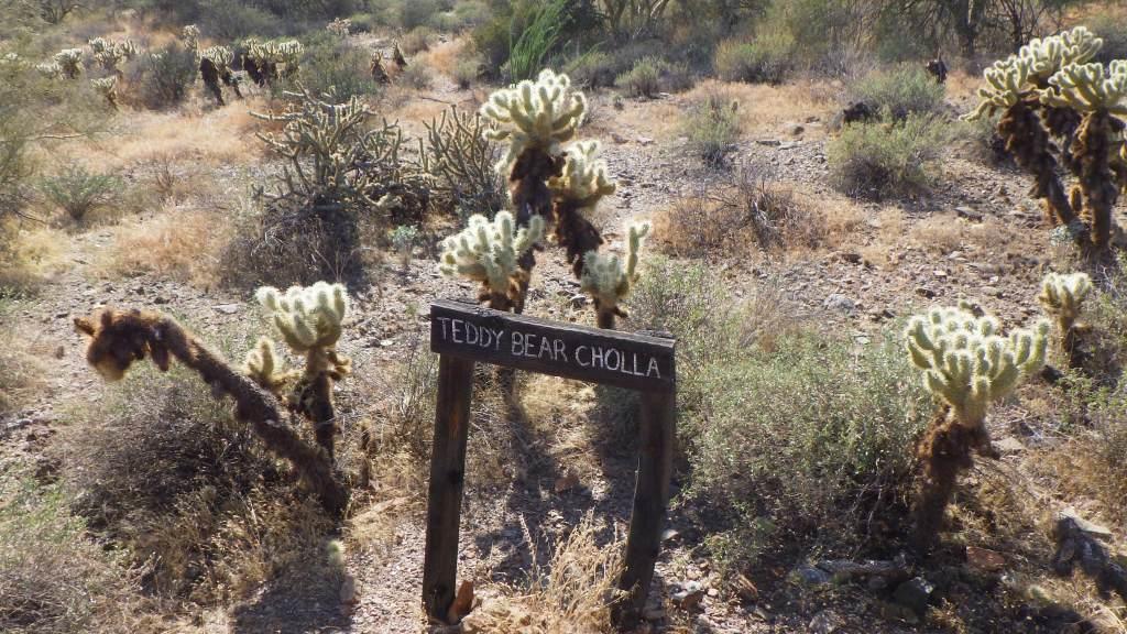 Horseback Trail Rides through the Sonoran Desert in Cave Creek Arizona Cholla Teddy Bear