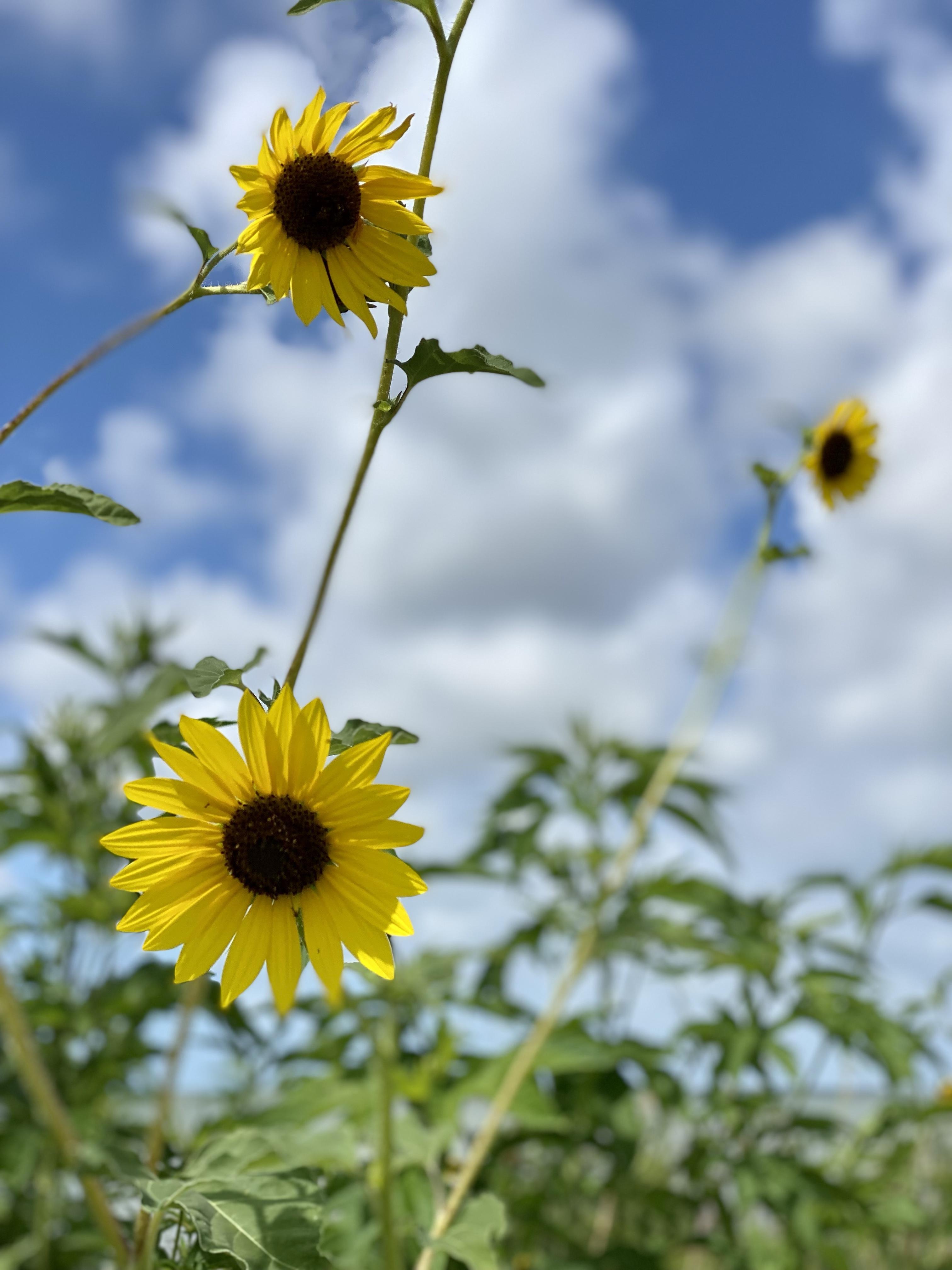 Sunflowers on Crystal Beach