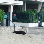 カイマナビーチでハワイアンモンクシール(アザラシ)が赤ちゃん産んだよ。